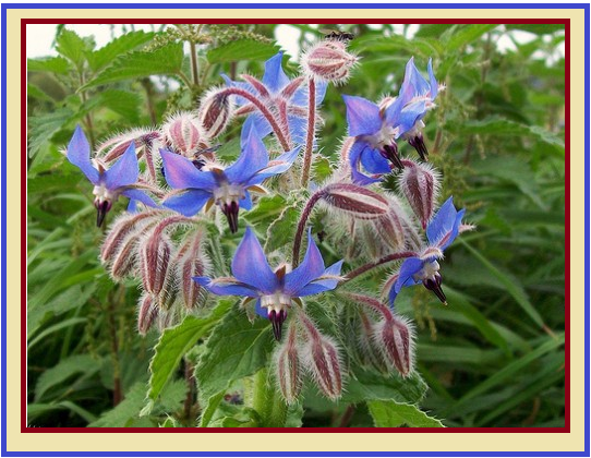 Borage oil uses benefits and disadvantages
