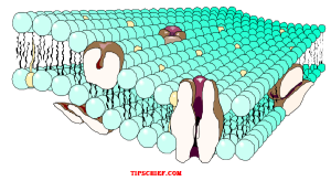 diagram of cell membrane