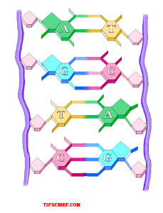 label diagram of DNA